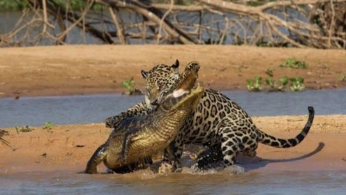 凶猛鳄鱼沙滩晒太阳,猎豹突然现身袭击,看到结果后不敢相信!