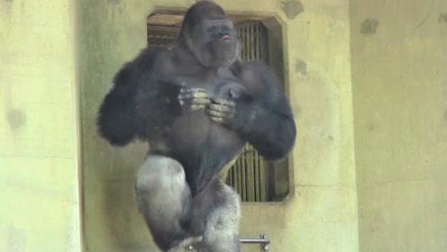 日本猩猩帅到离谱,每日对人放电摆造型,引少女疯狂迷恋!
