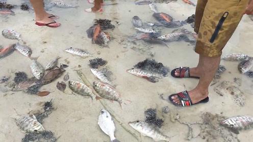 海水退潮网住了许多鱼,还是活的!