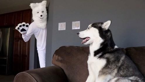 哈士奇看到一只假狗会是什么反应?老外买来面具,场面太暖心了