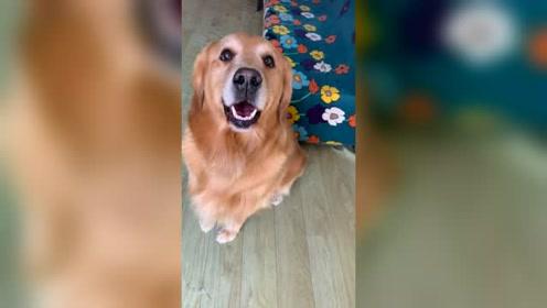 """说小金毛长得像米拉,金毛""""米拉""""这副表情,这狗真可爱"""