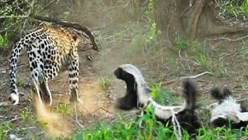平头哥被花豹捕获,不甘被吃,坚决与花豹战斗到最后一刻,好样的
