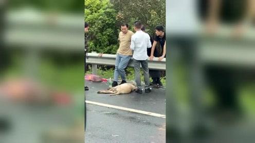 假期严重堵车,你把狗放在后备箱中暑了,大多数没得救了