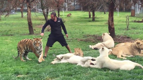 豹子准备偷袭饲养员,被老虎扑倒在地:一顿饱顿顿饱分不清?