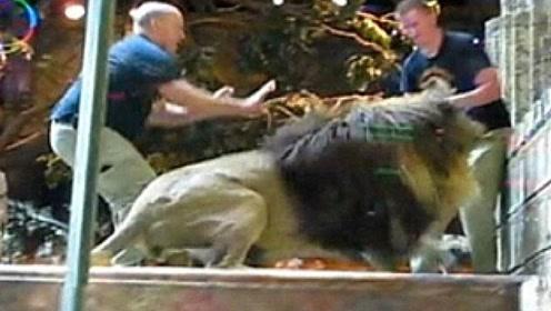 雄狮突然袭击饲养员,场面失控,母狮的举动让人意外!