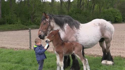 小男孩给小马驹喂奶,站在一旁的马妈妈,下一秒的举动简直暖哭!