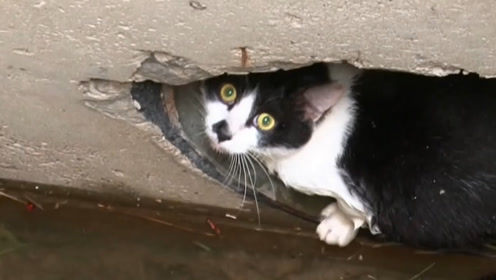 「危机中的动物」被下水道困了70天的猫,几乎被大雨淹死