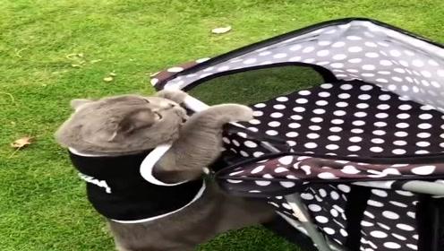 这就是养尊处优的猫主子,爬个婴儿车都费劲,笨手笨脚的!