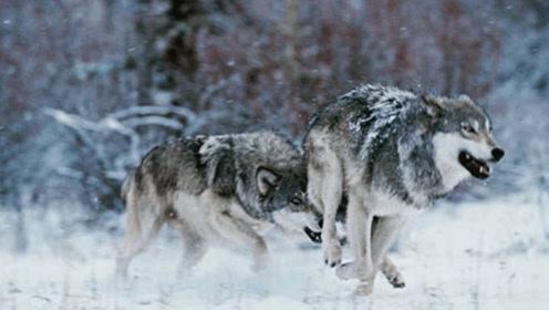 5头狼围住1匹马,专找马的破绽,马竟不知危险还藐视狼,心真大