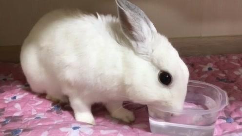兔子不能喝水,只要喝了就会断肠而亡?看完原因后才明白!