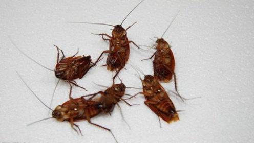 蟑螂最怕它,把它放在墙角,蟑螂来一只死一只,一晚上就能灭干净