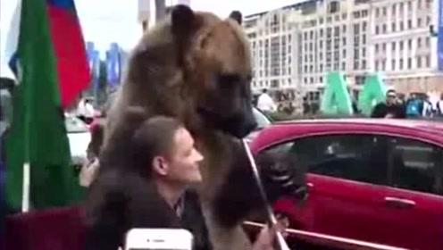 俄罗斯人让棕熊吹喇叭庆祝世界杯胜利,熊:夭寿了