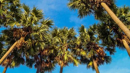"""世界上最不好好工作的树 明明是椰树却产""""大米""""?"""