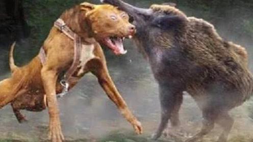 比特犬对战300斤的野猪,4条比特犬上演车轮战,竟被野猪秒杀
