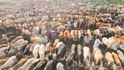 印度的有一种动物泛滥,数量高达3亿头,当地人却不能吃!