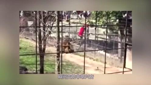 女子帽子掉进老虎园,竟翻进去捡,老虎看到人的一瞬间激动了!