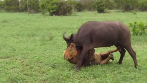狮子对水牛发起攻击,伤痕累累依然顽强挣扎,最终居然成功脱险