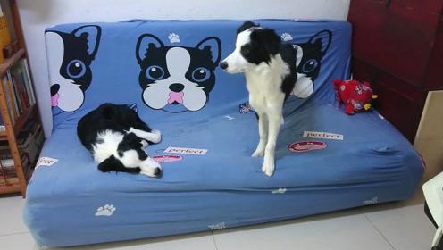 沙发上有两只狗狗,你觉得它们是同一只吗