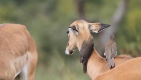 """嗜血成性的鸟,却被称为非洲草原的""""皮肤科医生""""?一起见识下"""