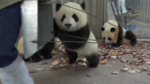 熊猫团子集体造反,奶妈一扫把扔了过去,接下来不许笑!