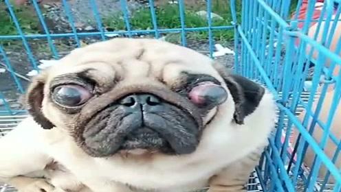 狗狗都这种模样了,主人还不停的让它生小狗,太残忍了!