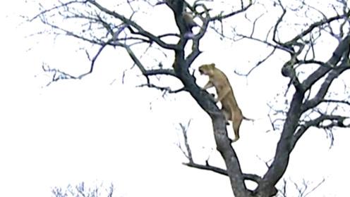想捕食角马却被反击,猎豹本以为要饿肚子,没想到却捡到了食物
