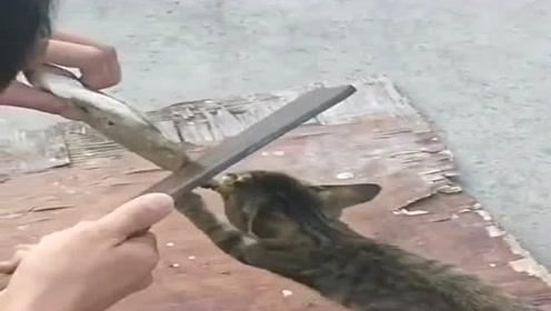 这猫多久没闻过鱼腥了,竟然咬着大鲫鱼不松口,主人只好拿刀出来了