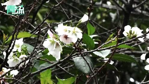 武大樱花十月盛开  专家解读:受天气影响,它误以为春天来了