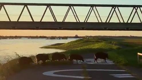 日本野猪群台风天狂奔逃难 网友:避险工作做得比人还好