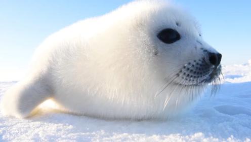 海豹竟会溺水?趴在冰洞等着求救 救生员拉出来一看笑了