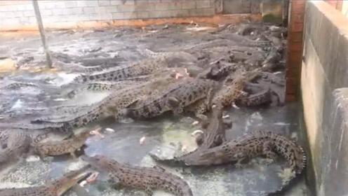 男子在家养上百条鳄鱼,一顿饭得吃一头猪!家里没矿都养不起