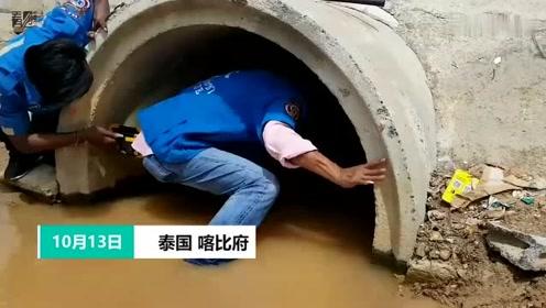 7男子下水道内徒手捕获4米长眼镜王蛇 惊险影片曝光