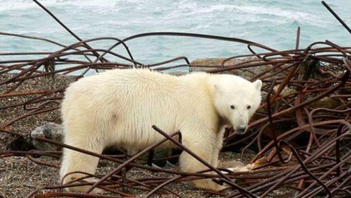 唯一的北极熊监狱你听过吗?每年11月熊比人多,监狱里专门有人看守!