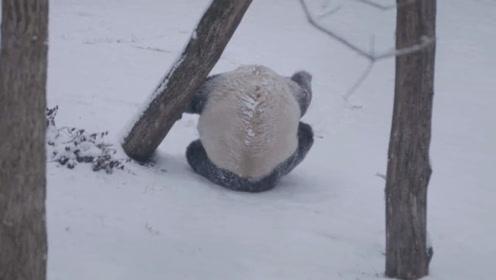 第一次看见雪的熊猫,不停在雪地里打滚,网友:像极了南方人