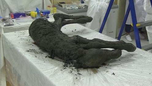 4.2万年前的小马驹,体内血液仍然在流动,生命复活有望实现?