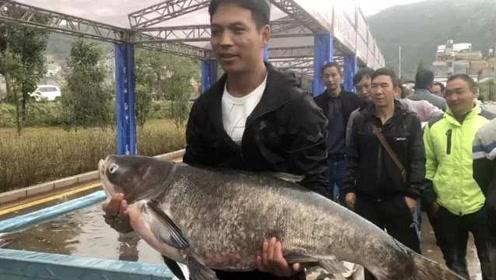 11年后开湖捕鱼!昆明阳宗海鱼王重58斤,捕鱼者提起时手哆嗦