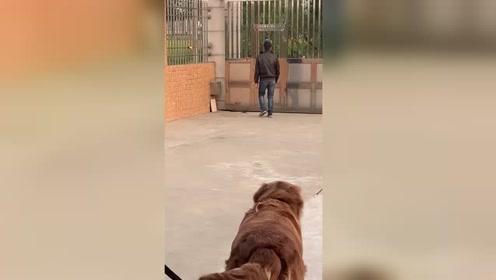 金毛看着主人被打,咬断绳子跑去帮忙,这狗真暖心
