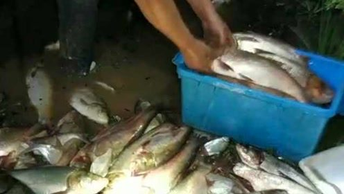 鱼群大量浮上水面,市民疯狂捞鱼直呼太爽了!