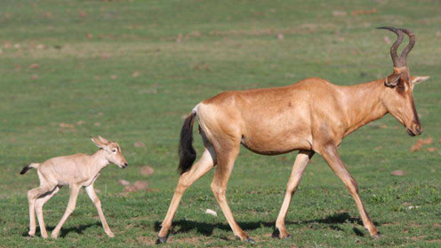 羚羊妈妈为腹中孩子,忍着剧痛与野狗战斗,它的举动,打动了人心