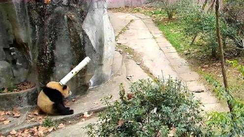 大熊猫被水管给砸蒙了,这可将大熊猫气坏了,下一秒千万不要笑
