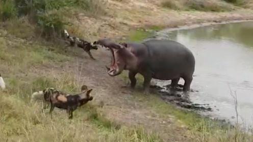 河马正在河里洗澡,却没想被一群野狗给盯上了,这下可有好戏看了