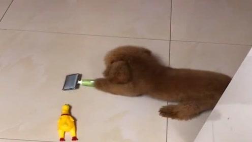 我家泰迪可聪明了,知道我每天用这玩意儿帮它梳毛,乘我不注意就想扔掉它!