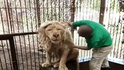 小伙子胆子太肥了,竟然敢给狮子洗澡,看着都令我瑟瑟发抖!