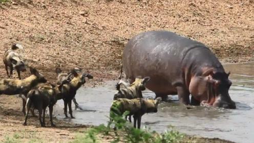 河马正在河里洗澡,没想却被一群野狗给盯上了,这下有好戏看