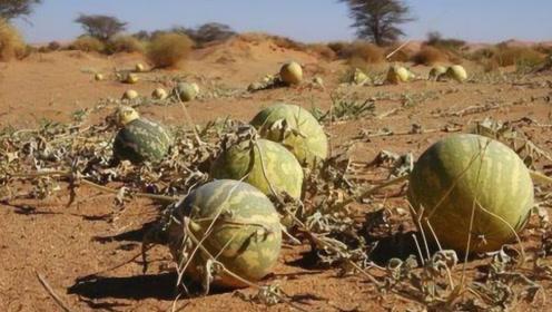 在沙漠看到西瓜千万不要碰,游客不听劝,下一秒后悔已经来不及了!