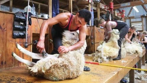 """老外举办""""剃羊毛""""比赛,不到1分钟,羊身上只剩光溜溜一片!"""