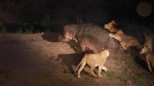久走夜路必撞鬼:狮子趁着夜色偷袭落单河马,狮子反被河马爆头