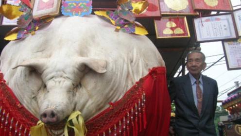 一头猪一直养不杀,它会长到多大,又会成什么样子?答案刷新我的三观