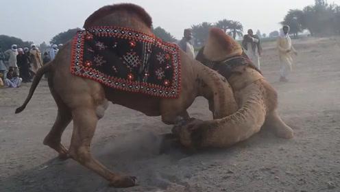 骆驼之间争夺配偶权,决斗时直攻击这个位置,真的是太狠毒了!