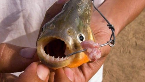 小伙把食人鱼狂饿10天,第11天扔进去一条电鳗,场面一度失控!